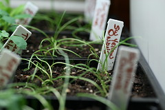 more onions sprouts