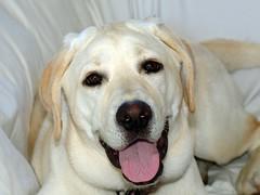 Lola (Cyn Reynolds) Tags: dog labrador sandiego crop 2008 picnik dscf828 smileofadog f32x