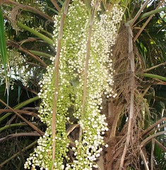 Palm (cess_pics) Tags: australian tropical florafauna
