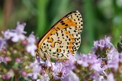 "Melitaea didyma (Le pot-ager ""Je suis Charlie"") Tags: papillon animaux insecte nymphalinae lepidoptre melitaeadidyma mliteorange"