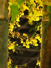 Oncidium closer (aGinger) Tags: flowers orchid canon is hungary budapest oncidium 2008 s3 orchidea floralia naturesfinest aplusphoto noafterwork