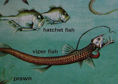 Holy Viper Fish