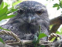 Podargus strigoides . Tawny frogmouth. (Linda De Volder (the new layout is horrible)) Tags: bird geotagged belgium planckendael birdwatcher eulenschwalm tawnyfrogmouth podargusstrigoides podargidae flickrdiamond caprimulgiformes podargegris uilnachtzwaluw planckendaelanimalpark lindadevolder