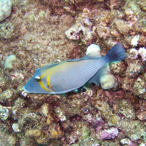 Triggerfish #2