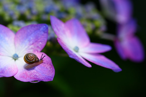 hydrangea&snail