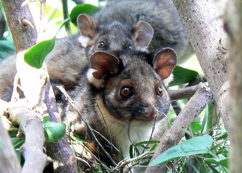 Ringtail possum family