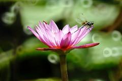 Dragonfly (ddsnet) Tags: plant flower water insect succulent waterlily lily dragonfly sony hsinchu taiwan aquatic   700 aquaticplants     odonata      sinpu  hsinpu  lily water  tetragona water  700   lily   nymphaeatetragona waterlily    nymphaea plants nymphaeatetragon  aquatic nymphaea tetragona plantsnymphaea tetragona