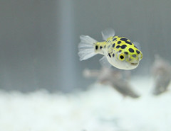 Blinky chilling out (Recombinant Rider) Tags: fish green canon aquarium spotted fugu puffer dslr gsp blinky 30d tetraodon nigroviridis greenspottedpuffer tetraodonnigroviridis joanneleungphotography joanneleungrecombinantrider