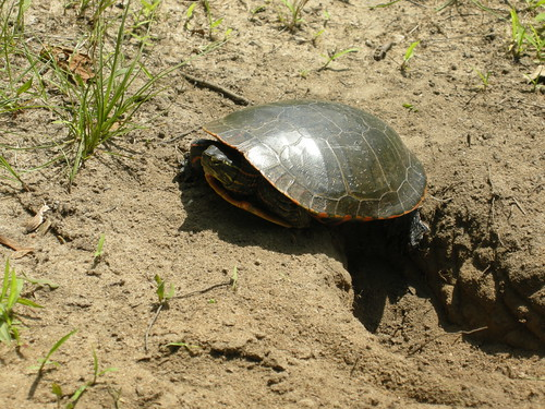 Midland Painted Turtle {Chrysemys picta marginata}