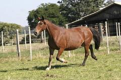 Foto (Estncia da Quinta Digital) Tags: cavalo gua crioulo