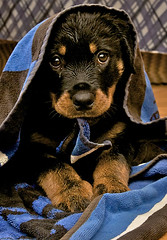 I cant be bad :) (-=Ninja=-) Tags: dog cute puppy rottweiler atlas threemonthold youmakemesmile