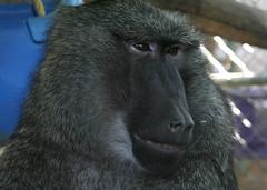 Normy (Brett A. Fernau) Tags: california wildlife handsome baboon primate sylmar normy waystation cdrxt deadeyebart brettfernau