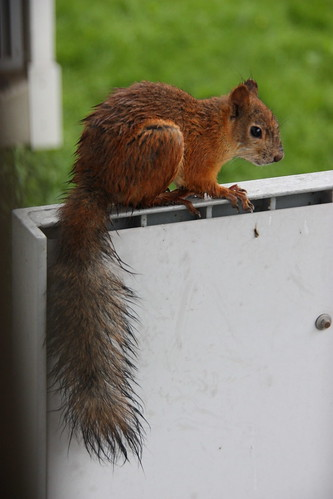 Orava parvekkeella