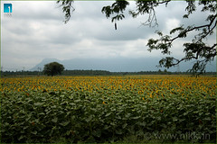 Sunflower Field (:: niKk clicKs ::) Tags: blue india nature clouds canon landscape kiss branches roadtrip hills sunflower tamilnadu palani southindia travelogue nikk sunflowerfield explored canoneoskissdigitalx platinumphoto picnikk