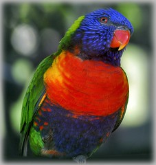 Rainbow Lorikeet (Flailinginge) Tags: birds wildlife australia lorikeets australianbirds australiananimals australianwildlife mywinners