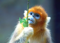 Golden snub nosed monkey (floridapfe) Tags: color cute nature animal zoo monkey golden nikon korea ape everland  goldensnubnosedmonkey specanimal anawesomeshot vosplusbellesphotos