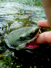 You're going to need a Bigger Pond (ian boyd) Tags: uk garden shark pond gallery pics wildlife images vision stuff isleofwight creativecommons greatwhite digitalphotograph eyesopen pondlife seeingthings freepictures yourphototips nodonkeyinthatshot unexpectedlymauledwhilstlookingfornewts justbearwithmeonthis