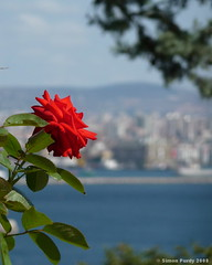Rose on the Bosphorous, Istanbul, Turkey (Simon Purdy) Tags: rose turkey asia bokeh middleeast istanbul easterneurope bosphorous thebestofday gnneniyisi
