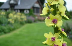 Verbascum chaixii in front of Tea Cottage