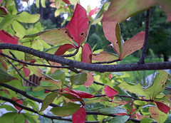Red and green tree leaves