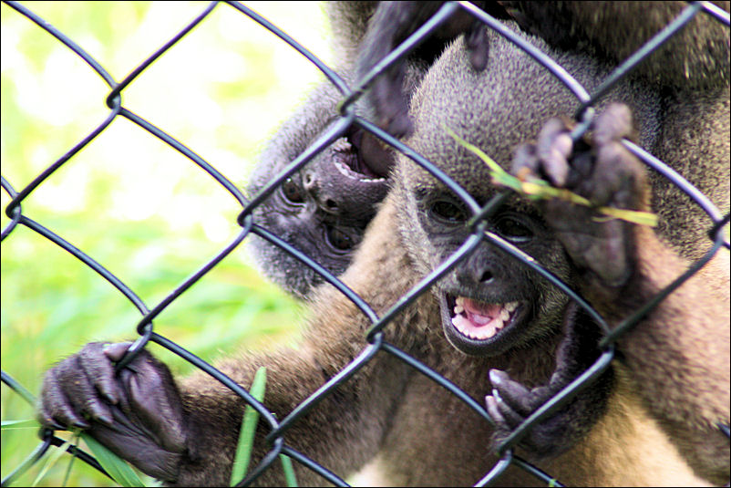 Woolly Monkey Babies
