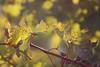 *Leaf It To Me* (TPorter2006) Tags: tporter2006 september 2008 texas grape leaf leaves gold green vine bokeh explored photofaceoffwinner pfogold medal bigmomma hero herowinner explore interestingness