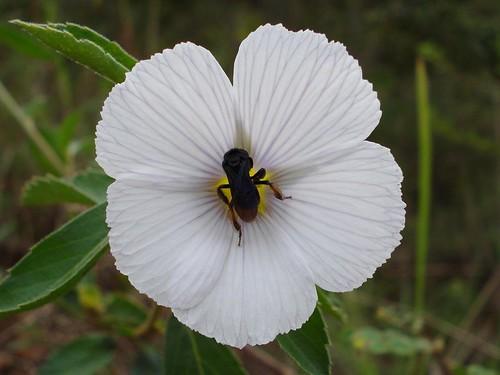 Visita à Turneraceae
