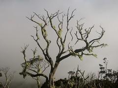 IMG_1027.JPG (bananaskathryn) Tags: tree borneo kotakinabalu mossy
