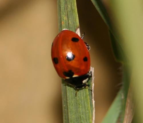 multi-colored asian lady beetle red with seven spots2