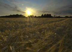 Range of the fields (Doktor Dumbom) Tags: sky sun field high dynamic wheat grain growth f22 range hdr highdynamicrange photoshophdr thechallengefactory ddumbomssecrettag nophotomatixinvolved manualtonemapping