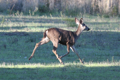 Black-tailed Deer-IMG_6003-Rancho San Antonio-crop by gimlack.