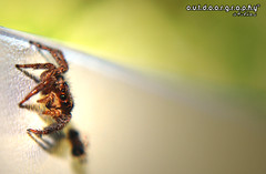 Outdoorgraphy : Jumper Extreme d0f (Sir Mart Outdoorgraphy) Tags: macro spider dof bokeh depthoffield jumper jumpingspider d0f buzznbugz penangflickr sirmart outdoorgraphy outdoorgraphy penangflickrgroup