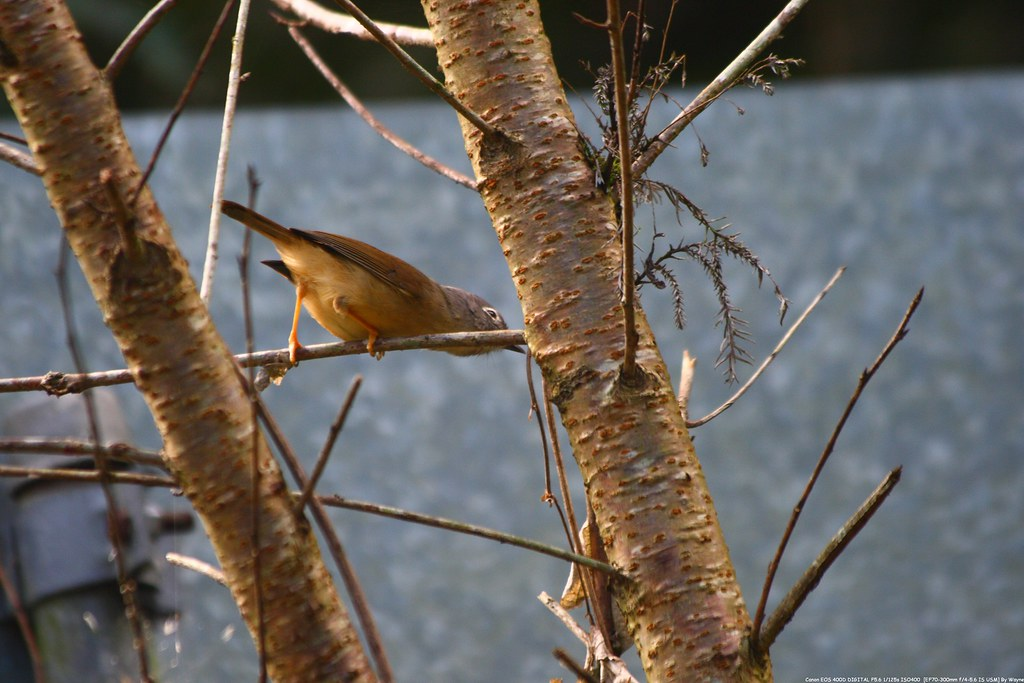 繡眼畫眉 White-eyed Nun babbler - IMG_1829