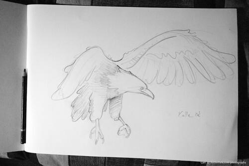 eagle - teckning