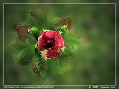 Joyeuses ftes....Happy Holidays .... (Rached MILADI -  ) Tags: macro fleur plante flickr couleurs awesome vert 18 tableau paysage better printemps fz hdr tunisie  cologie  rached  anawesomeshot fz18 dmcfz18 miladi  rachedmiladi