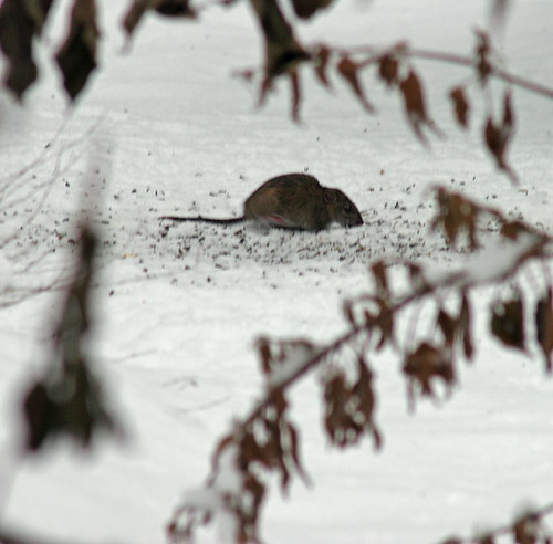 Squeaky Mouse in Winter Snow