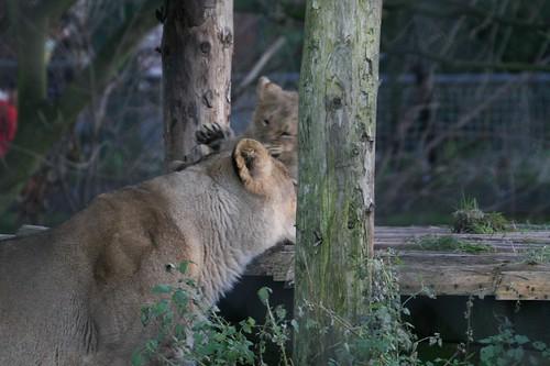 lion and lioness and cub. 22 lion 18 lioness 17 cub