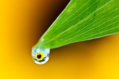 A Drop of Sunshine (Explored #466) (Mike Chen aka Full Time Taekwondo Dad) Tags: macro green water yellow sunflower mostinteresting droplet flowerscolors catchycolorsyellowgreen flickrchallengegroup flickrchallengewinner flowersandcolors macroflowerlovers