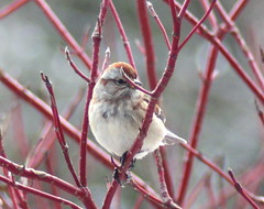 American Tree Sparrow (DianesDigitals) Tags: sparrows americantreesparrow treesparrow ilovebirds treesparrows ohthatsgood ourworldofnature dianesdigitals wowjustwowcompetitionvoting