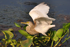 Indian pond Heron (nurur) Tags: bird heron pond dam indian bangladesh feni indianpondheron muhuri nurur muhuridam muhuririver