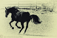 Horse Power (KY-Photography) Tags: blackandwhite bw horse ontario canada black nature beauty animal sepia nikon raw force action ky guelph nikkor khalid allrightsreserved kal uog explored d80 capturenx 18135mmf3556g kyphotography