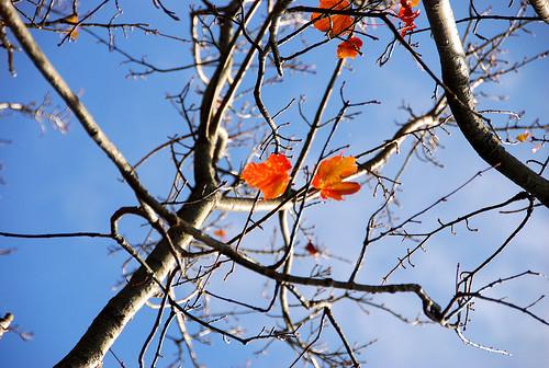 已掉光的的紅榨槭