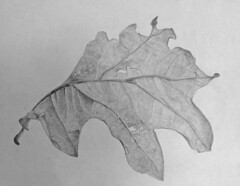Drawing: Scrub Oak Leaf (Quercus gambelii) (Floyd Muad'Dib) Tags: old blackandwhite bw plants usa plant art leaves illustration america pencil geotagged blackwhite leaf oak quercus unitedstates drawing united north drew illustrations drawings vegetation northamerica oakleaf states drawn shrub oaks shrubs oakleaves graphite scruboak gambelii leadpencil scruboaks quercusgambelii