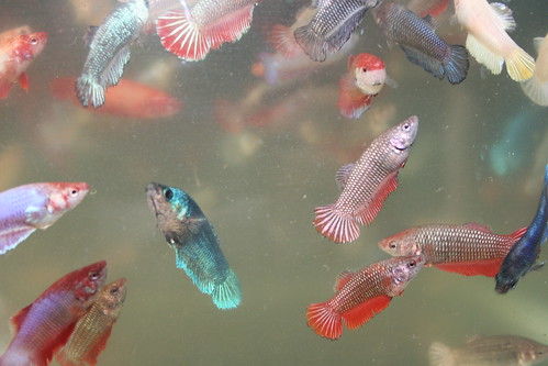 Betta fish poll results how many betta fish do you for How do you take care of a betta fish