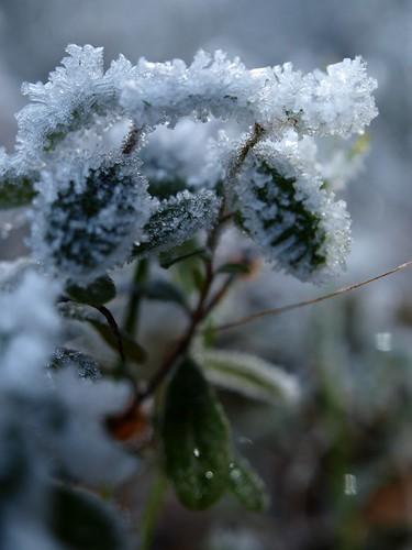 Lingonfrost innan