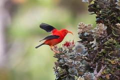 I'iwi (LauraKeene) Tags: birds hawaii maui haleakala endemic iiwi