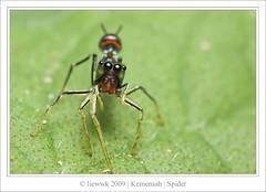 4.12 Spider ... Orsima ichneumon