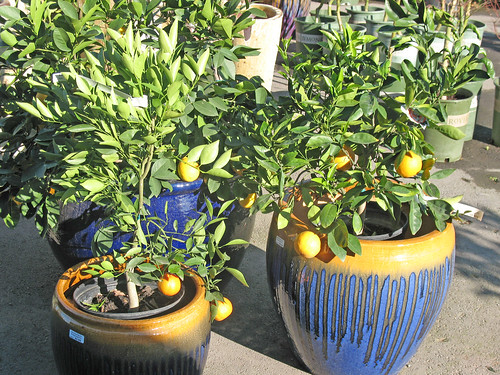 citrus in containers