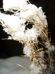 snow covered plant (dandavie) Tags: winter snow plant cold macro nature dead covered flakes