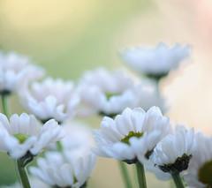 lightness (*Peanut (Lauren)) Tags: flowers daisies square bokeh smooth tgif 105mm lolthanksladies shalliaddtags anothergorgeousshotfromlauren